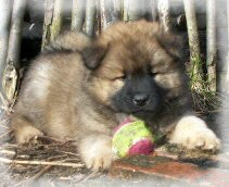 Eurasier L- Wurf vom Land´s End