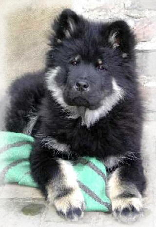 Emmy - Eurasier vom Land´s End -