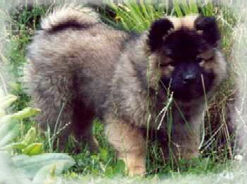 Camillo - Eurasier vom Land´s End -