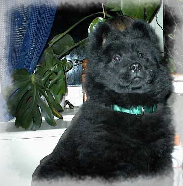 Ebony - Eurasier vom Land´s End -