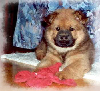 Albert - Eurasier vom Land´s End -