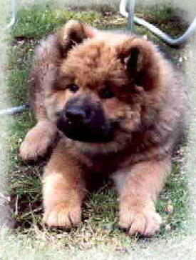 Cuno - Eurasier vom Land´s End -