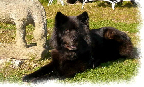 Anthea - Eurasier vom Land´s End -